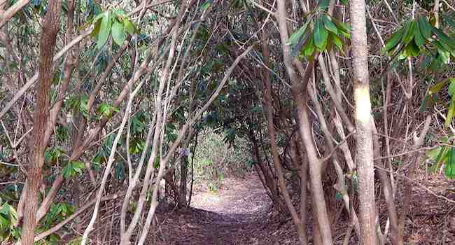 Mountain Laurel Tunnel Seen While Hiking Florence Nature Preserve